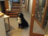 室内でおすわりしている犬