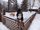 柵で立ち上がる犬