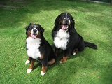 芝生と2頭の犬