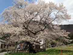 150422山妻有の桜