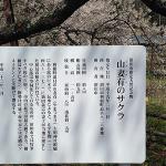 150422山妻有の桜a