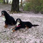 150422桜の絨毯a