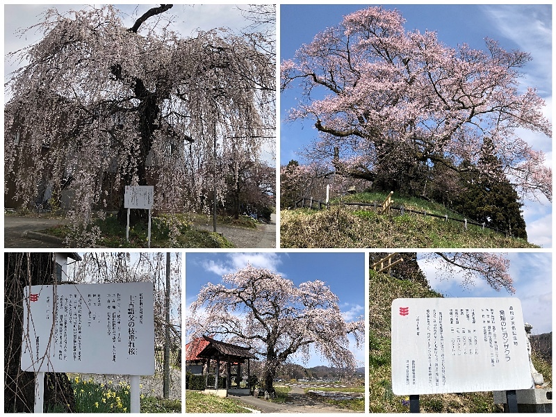 Collage_Fotor沼田の桜_Fotor